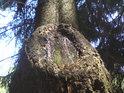 Detail na kmeni smrku po před lety uříznuté větvi.