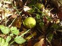 V Ranšpurku najdeme i jinde neobvyklé plody.