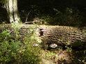 Nedávno padlý kmen je teprve v počátečním stadiu rozkladu.
