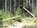 Mohutný vývrat ukazuje, že mokřadní smrky mají kořeny především rozložité do šířky, méně již do hloubky.