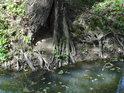 Kořeny stromu se po odplavení hlíny stávají vzdušnými.