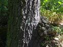 Kmen menšího dubu.