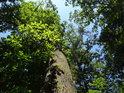 Střední dub u paty Rokycanské stráně.