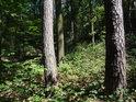 Dvojice borovic ve smíšeném lese.