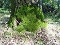Mechové úpatí pobřežního stromu u rybníka Louňov.