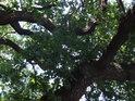 Pohled do koruny památného dubu na hrázi rybníka Louňov.