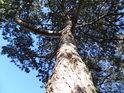 Střední borovice na jihozápadní straně Santonu oproti překrásně modré svatováclavské obloze.