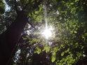 Slunce prosvítá bukovým listím.