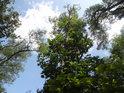 Pohled do korun jasanů a javorů.