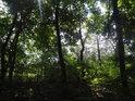 Slunce proniká do javorového lesíka.