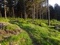 Pěšina mezi sytě zeleným borůvčím zalitá ranními slunečními paprsky.