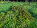 Trs vysokého borůvčí v lesní trávě.