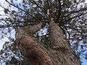 Dvoukmenná borovice.