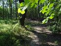 Prosluněné bukové listy coby ozdobná branka nad lesní pěšinou.