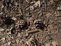 Padlé borové šišky na borovém jehličí a dubových listech.