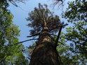 Lehce zvlněná kmen borovice.