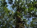 Zvlněný kmen dubu.