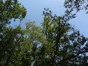 Modrá obloha nad stromy Šiberné.