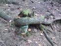 Živý kořen mrtvý pařez objímá, najdou se tací co je to dojímá.