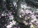 Kořeny stromů to tu mají těžké, ale dokáží se uchytit i v málo úživných skalách.