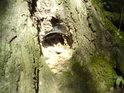 Vnitřní nepřítel stromů se též snaží.