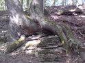 Jeden kořen objímá druhý.