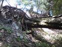 Foukalo tu velice a zeslabený buk se poroučel k zemi i s kořeny.