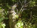 Tlející kmen stromu je postupně obrůstán, až bude domovským luhem zcela stráven.