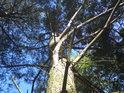 Pohled do koruny jedné z borovic.