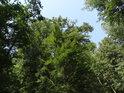 S hlavou zakloněnou můžeme vnímat krásy polozapomenutého lesa.