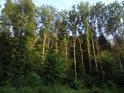 Večerním Sluncem osvětlené kmeny jasanů nad horním Soběšickým rybníčkem.
