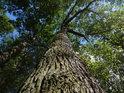 Dub na kraji lesa mívá větve na volnou stranu podstatně silnější.