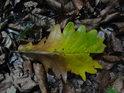 Dubový list v podzimních barvách.