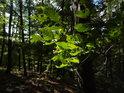 Sluncem prosvětlené bukové listy v temnějším lese.