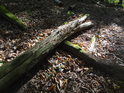 Bukové větve přes sebe padají a postupně se rozkládají.