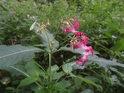 Květ netýkavky na břehu řeky Svratky.