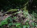 Obnažená část kořenů vyvracejícího se stromu.