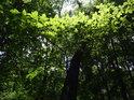 Slunce proniká přes bukové listy.