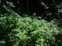 Sluneční flek na lesním podrostu.
