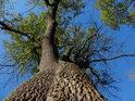 Silná lužní dub.