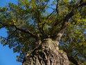 Pohled do koruny krásného dubu mezi Metujemi.