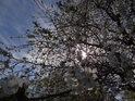 U rozkvetlé třešně pod krnovským sluncem na jaře, co by šlo třeba dělat?