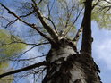 Jarní pohled do koruny rozkvetlé břízy.