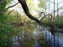 Javorová větev se velice odvážně kloní nad bažinatou část chráněného území Štěpán.