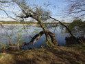 Zajímavě ohnutá vrba se sklání nad hladinou rybníka Štěpán.