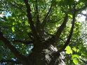 Kmen javoru s malými větvemi.