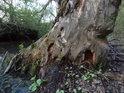 Topol to neměl v životě snadné, bobři i dřevokazné larvy, oběma se zachtělo jeho dřeva.