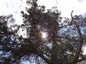 Slunce se prodírá přes řídkou borovici.