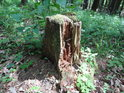 Rozpadající se pařez v nitru prosluněného lesa.