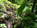 Detail bylinného patra lesa.